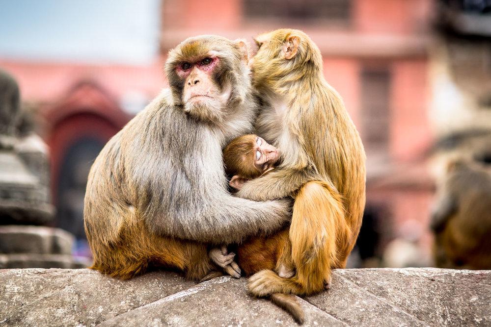Monkey Temple Monkeys-1-2.jpg
