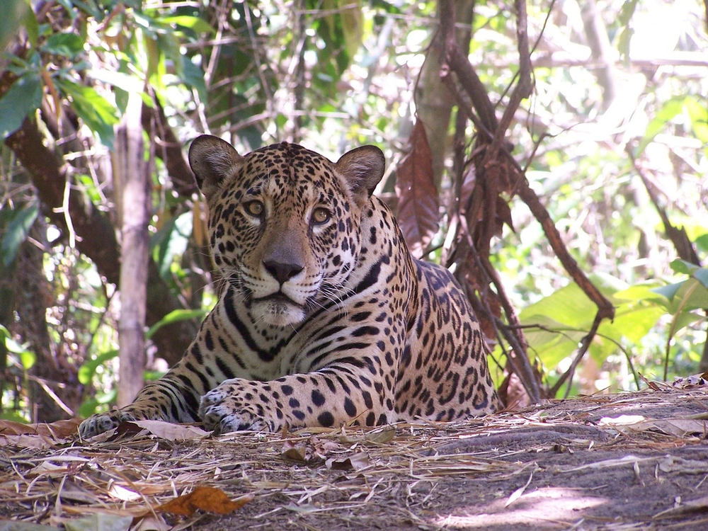 Jaguaru, Parque Ambue Ari. Photo by Dave Landsberg