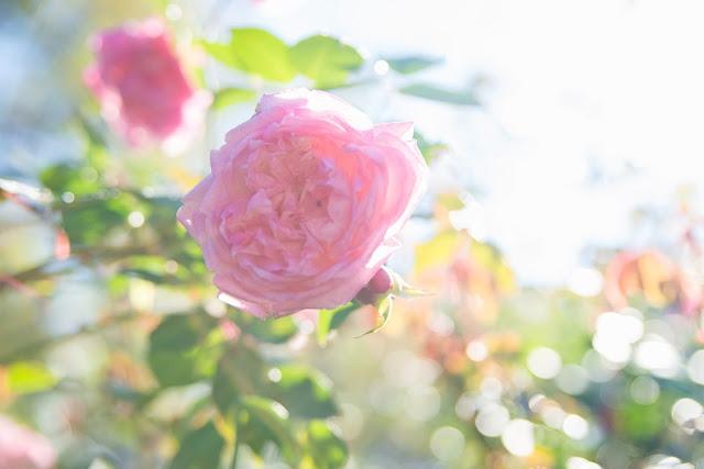 Fall+roses-11.jpg