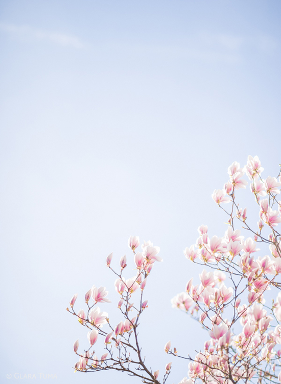 Spring Blooms_©ClaraTuma_02.jpg