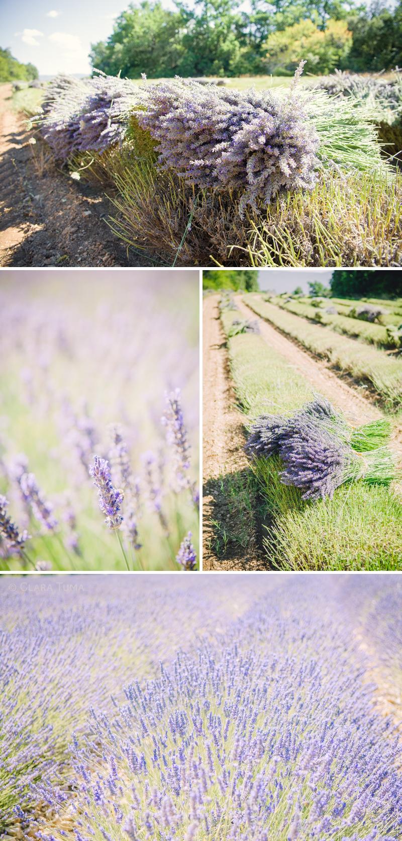 Lavender_©ClaraTuma.jpg