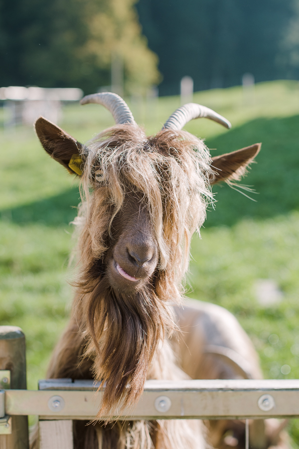 A rare goat species called  »Kupferhalsziege » (copper neck goat), originating in the « Wallis » region of Switzerland. At the Wieland farm.
