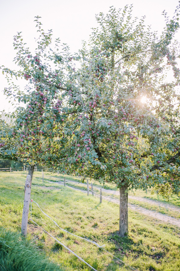 Organic apple trees on farm Bättwil near Burgdorf.