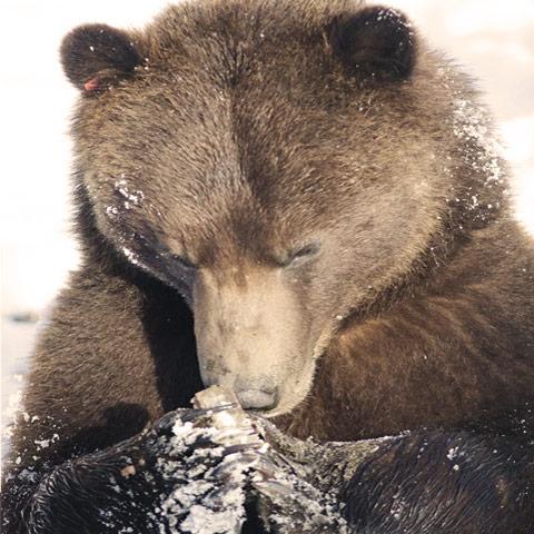 Bros and bears breeding