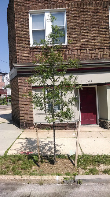 2014 tree near the intersection of Park Avenue and Whitelock Street (6/16/14)