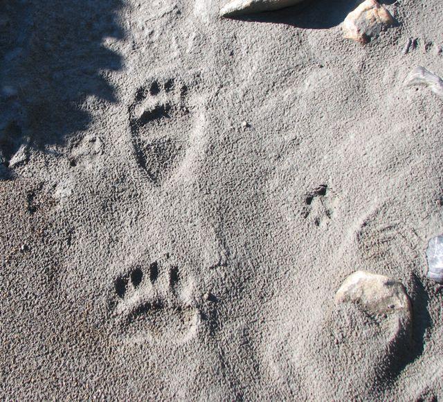 bear tracks.jpg