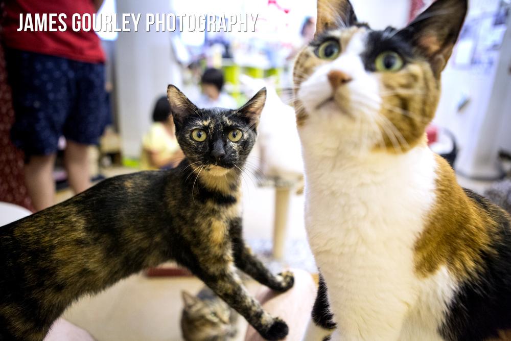 Cats at a Tokyo Cat Café