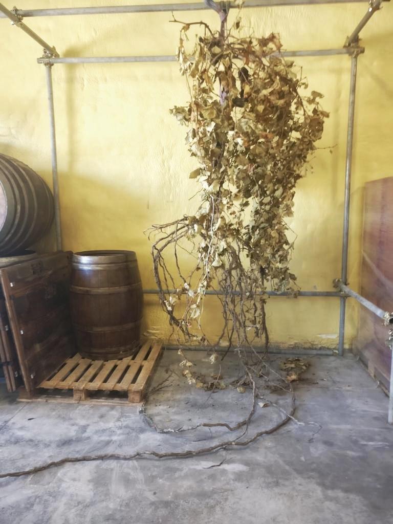 Réva vinařství Conti Riccati - Tato rostlina vinné révy je 50 let stará a délka kořenů dosahuje 15 metrů. Pro vykopání a neporušení kořenového systému musela být vykopána jáma o průměru 5 metrů a bylo tak činěno po celé dva dny. Ale tento unikátní pohled na celou rostlinu vinné révy byl fascinující!!