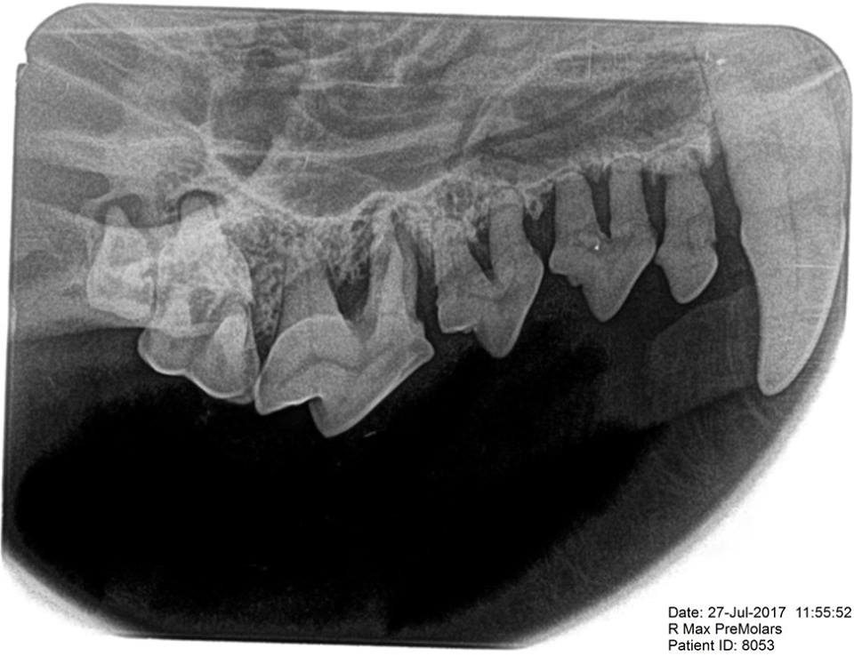 "While things in the photo do not look great, the radiograph reveals the true extent of disease. This dog require whole-mouth extraction due to horrific periodontal disease. Ignore your pet's oral health at their peril. And whatever you do, do not fall for charletons and quacks offering ""cheap"" anesthesia-free tooth grooming - it is worse than useless.  https://www.facebook.com/toothvet/posts/954051758103463 ."