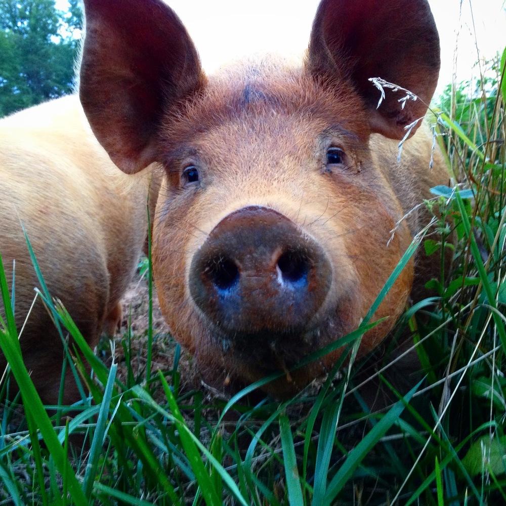 curious hog