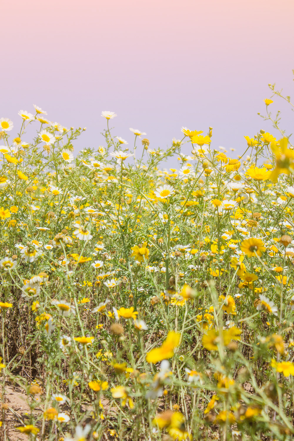 Finding The California Super Bloom Very Sarie