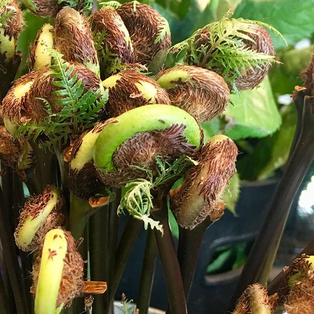 Fabulous Fiddlehead Ferns how we love you! #fourleafcloverstudio  #fourleafcloverstudioflowers #japaneseflowers