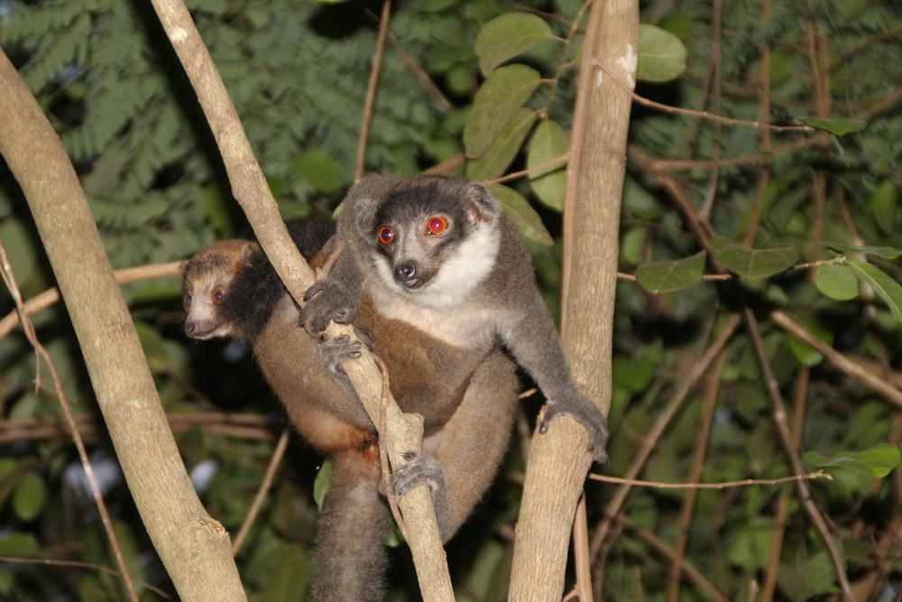 Collared brown lemur, Eulemur fulvus collaris (photo: Luke Dollar)