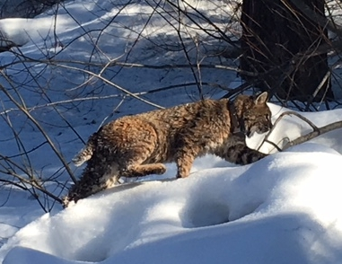 First collared bobcat (photo: Kate Orlofsky)