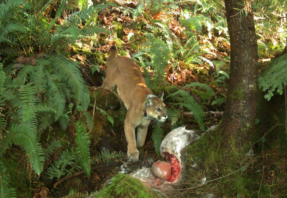 This cougar may have prevented a vehicle collision by killing this deer (photo: Brian Kertson)