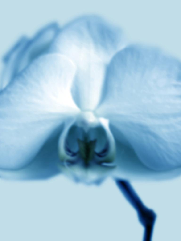 DLJ Orchid 1 cyan