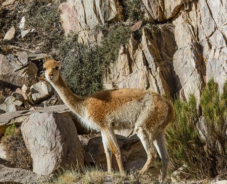 Wild Vicuña, Puna region, Argentina