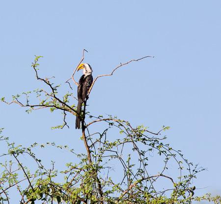 Toucan, Bishingari