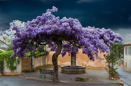 Wisteria in La Motte d'Aigues