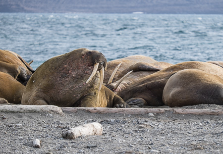 Walrus sleeping in piles