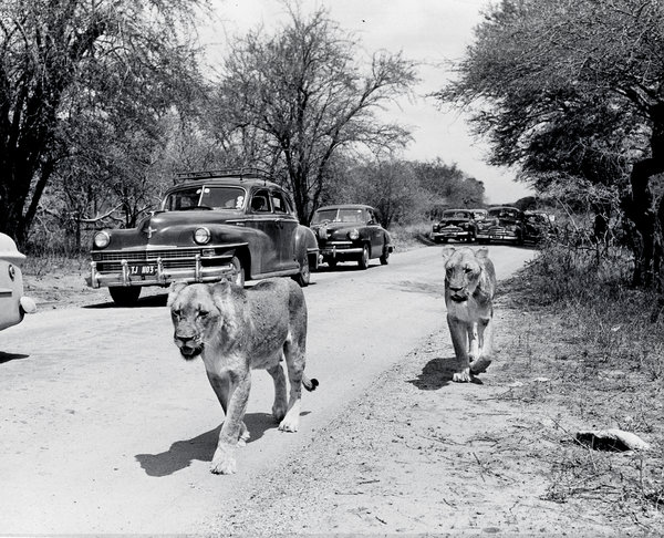 Lions in Kruger National Park, about 1950. Credit Hamilton Wright/Hulton Archive/Getty Images