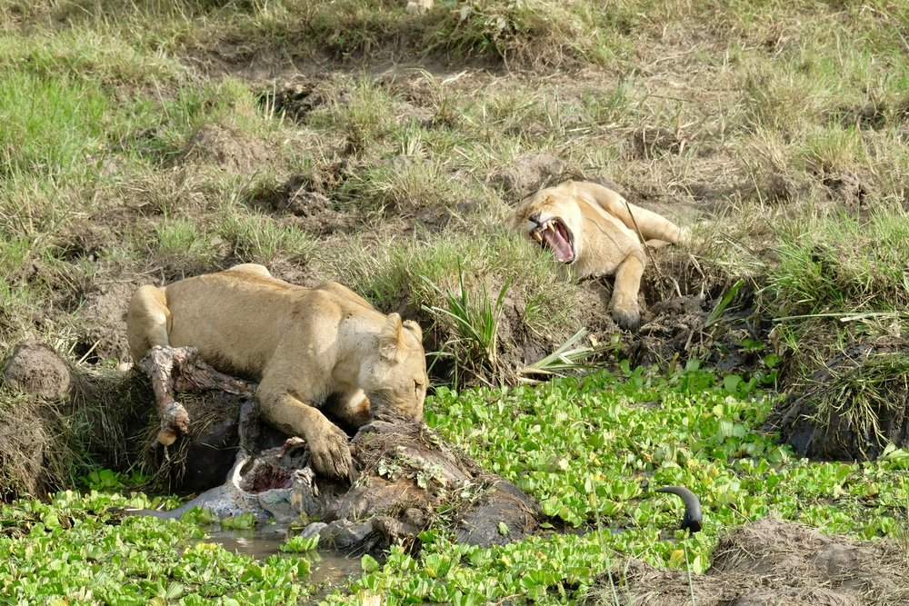 Lionesses arguing over kill