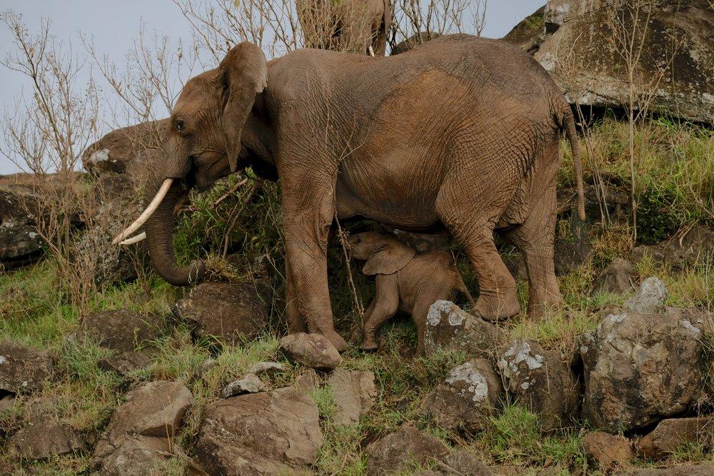 Elephants climbing the side of Leopard Gorge