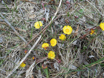 Tiny 'suns' blooming through winter's debris on Ward's Island