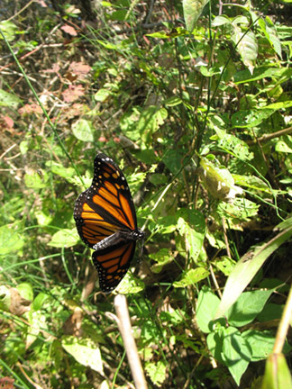 This beautiful Monarch I encountered two years ago was caught in a web and died. Little did I realize it at the time, but this image represents an omen for me now. The disappearance of this butterfly species is very apparent. Last year (2013) I saw only four Monarchs in Toronto. I was expecting to see these magnificent beings all over as I had previously.