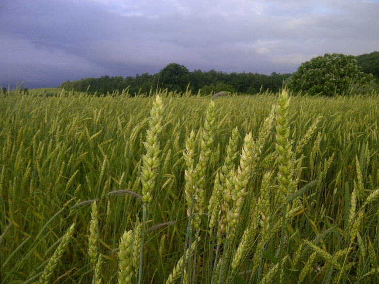 CCCC - Organic wheat growing in the fields at Hawthorne Valley Farm.jpg