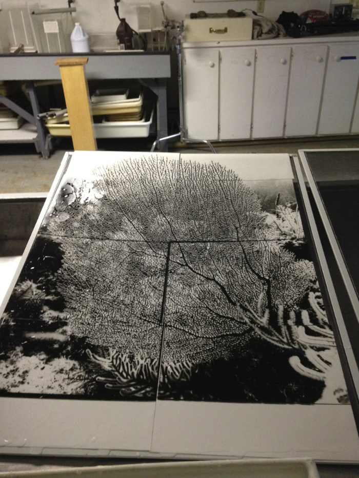 Silver gelatin prints, on drying rack, before going through the mordancage process