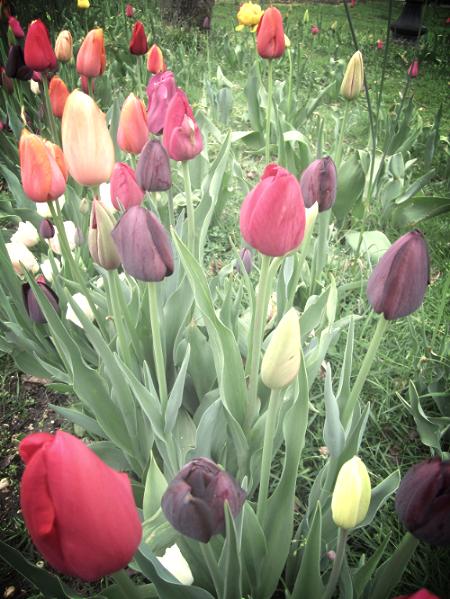 16th Annual Huntington Tulip Festival