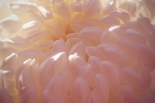 Lisa Fox, Chrysanthemum