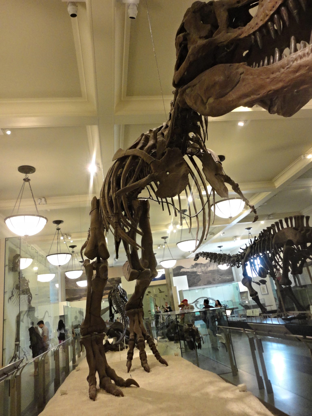 Taking in the dinosaur exhibits at the American Museum of Natural History.