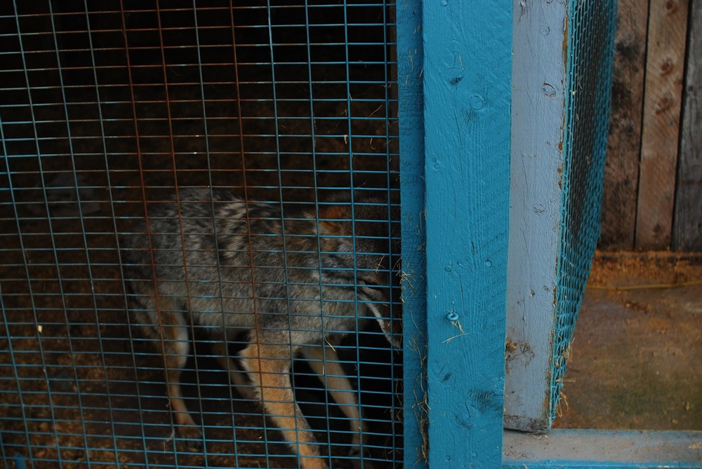 "Coyote in Enclosure , C-Print, 16"" x 24"", 2010"