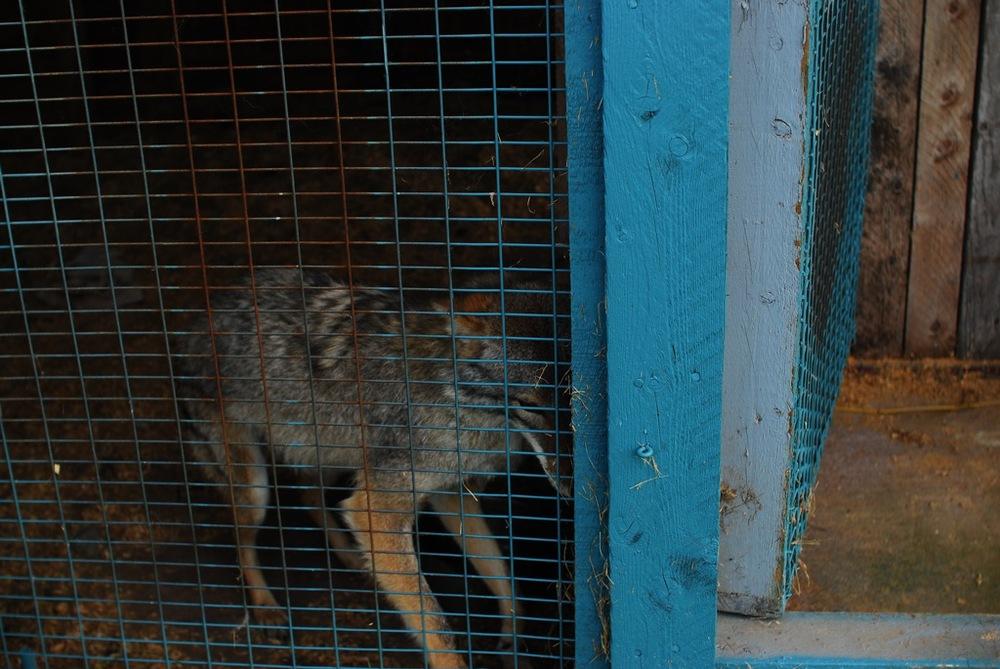 "Coyote in Enclosure , C-Print, 16"" x 24"", 2010"