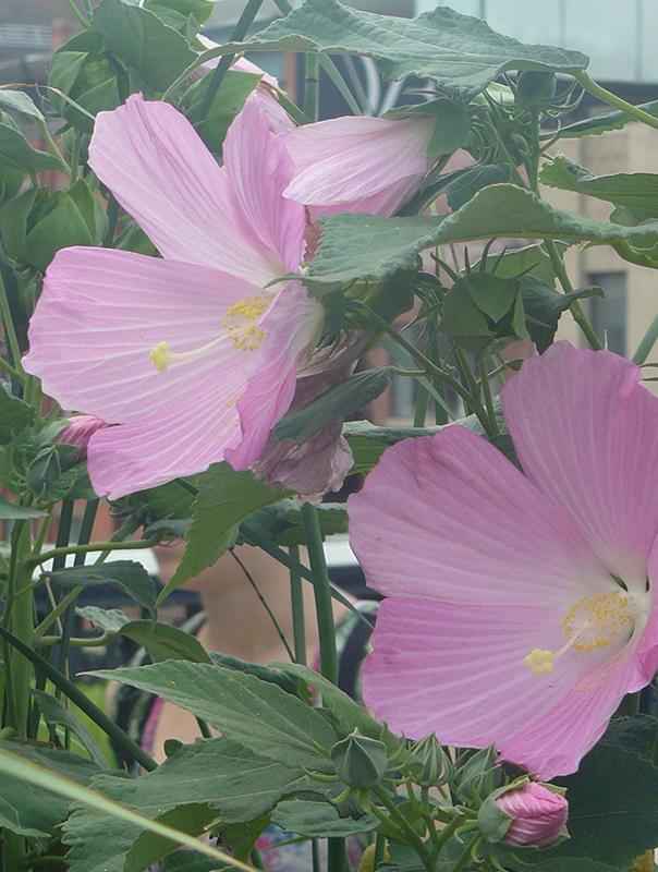 4.Hibiscus.jpg