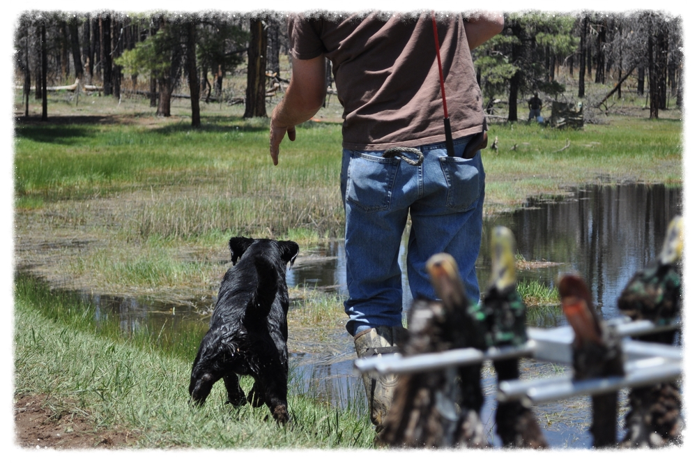 This program picks up where the Gun Dog Program left off.   This program will teach:     * Multiple Marking Concepts     * Handling ( 3 handed casting, Double T, Swim By, Pattern Blinds, and basic Cold Blinds on land and water)       * Diversion Birds     * Honoring     * Upland hunting skills including sit to flush and steady to shot/fall     * Trailing and tracking wounded game               This program is geared toward dogs that have gone through Gun Dog Training. Depending your goals for your dog and the dogs ability, running at hunt tests is an option with you or Tony as Handler. All of the advanced concepts will be taught by the completion of this program.  There is no time frame for this program.  It is dependent on how far the owner wishes to progress.