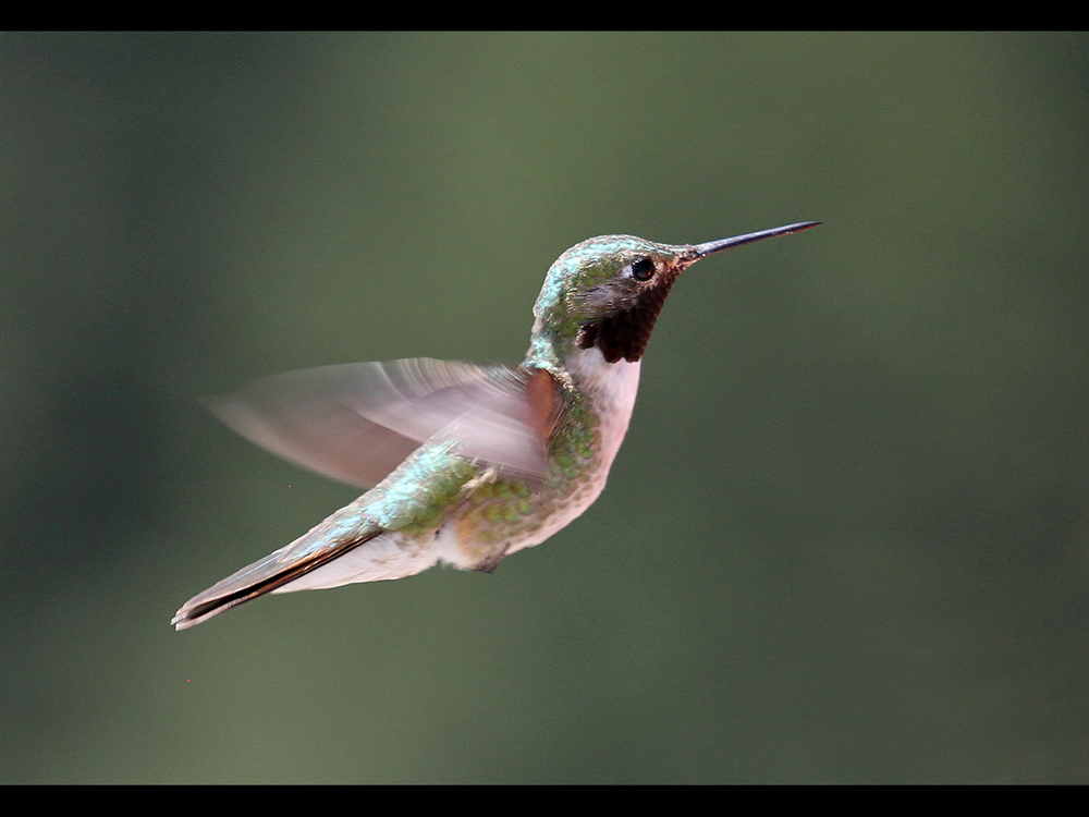 HUMMINGBIRD IN FLIGHT by Don Byatt.jpg