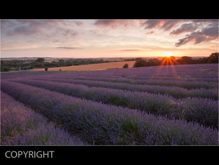 LAVENDER SUNSET by Jamie White.jpg