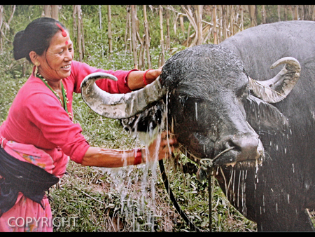 BATHING THE BUFFALO by Irene Clarke.jpg