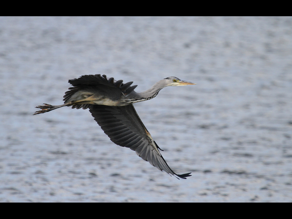 GREY HERON by Don Byatt.jpg