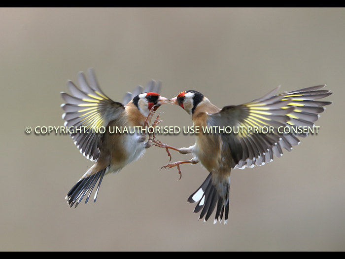 FIGHTING GOLDFINCHES by Neil Schofield