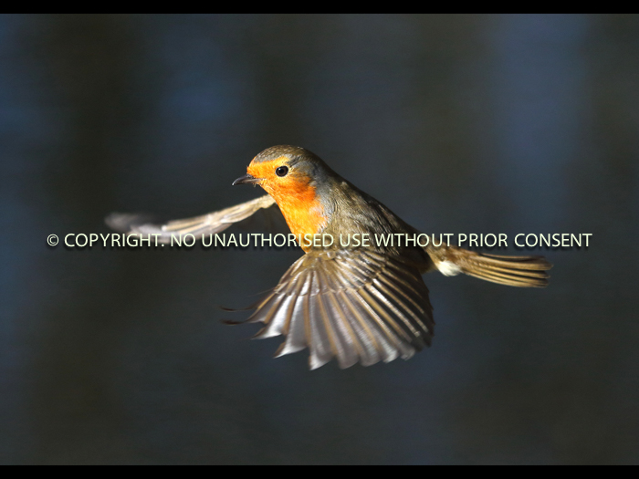 ROBIN IN FLIGHT by Neil Schofield