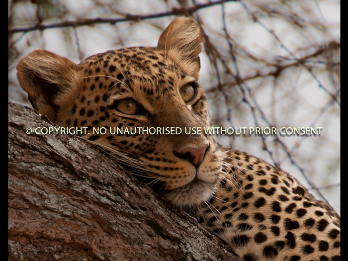 TANZANIAN LEOPARD by Emily Cosby