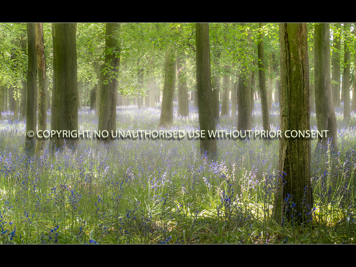 BLUEBELL MIST by Jamie White.jpg