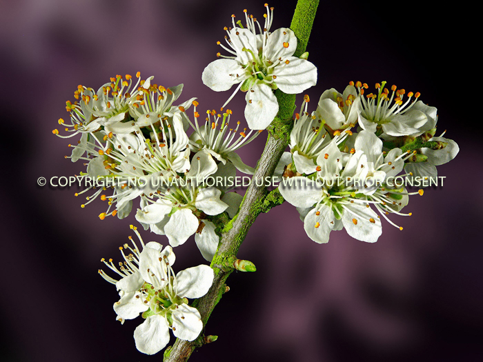 BLACKTHORN by Bruce Williams.jpg