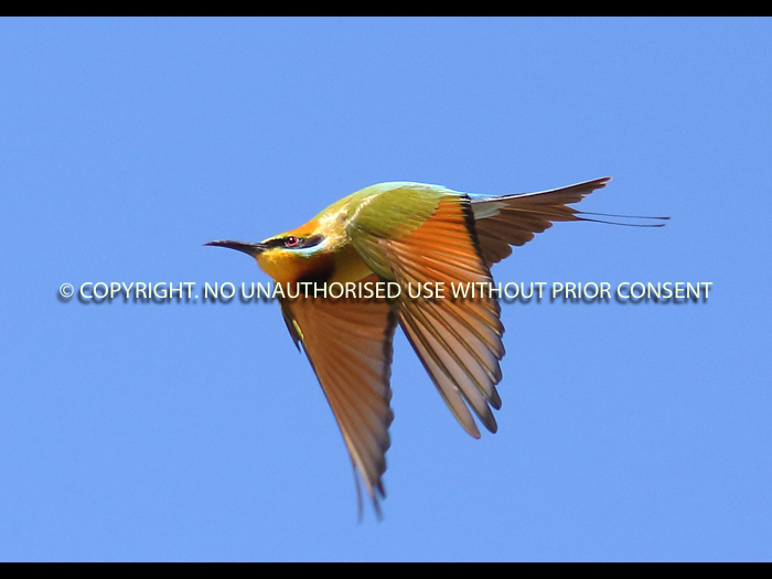 RAINBOW BEE EATER by Neil Schofield.jpg