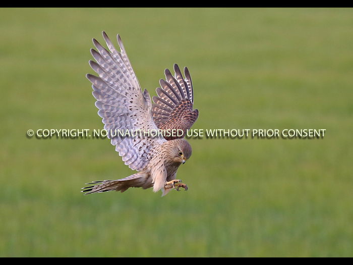 POUNCING KESTREL by Neil Schofield.jpg