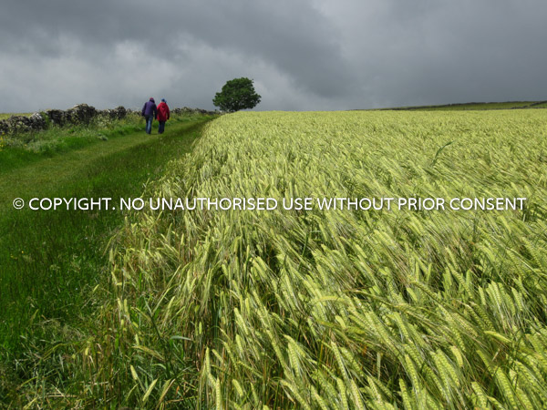 GREEN FIELD STOMPS by Mike Newman.jpg